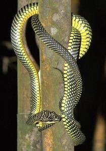 snake_paradisetree